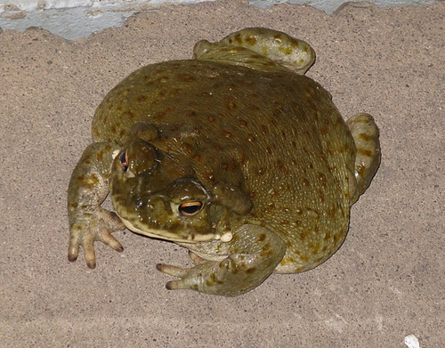 Colorado_River_Toad