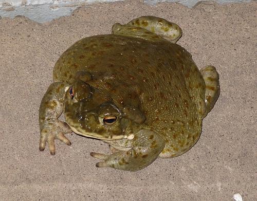 Colorado_River_Toad
