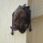 bat_close_up_2