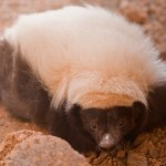desert_skunk