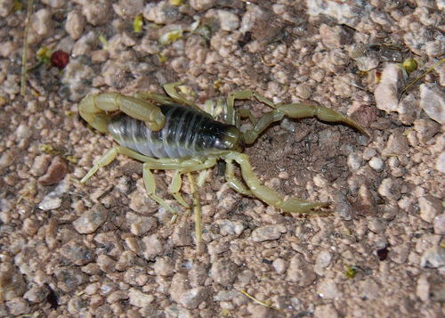 scorpion_on_rock