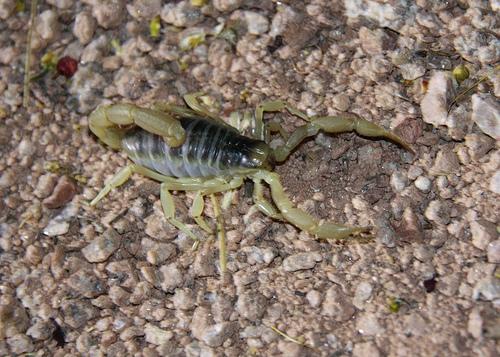scorpion_on_rock