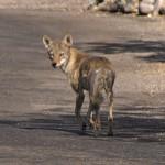 sick_coyote